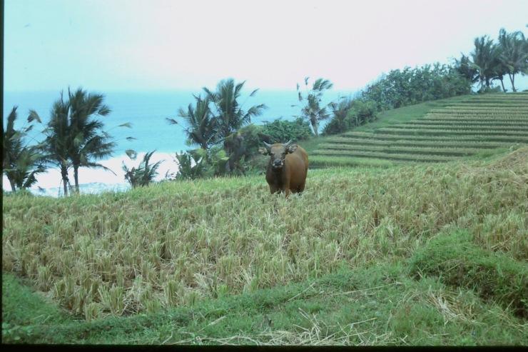 Bali_Buffalo
